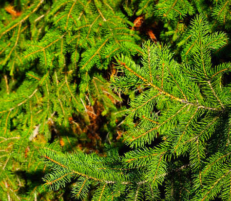 Image of fir branch as background photo
