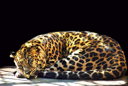 jaguar image lying on a black background Stock Photo