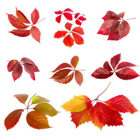 Isolated image set of autumn leaves