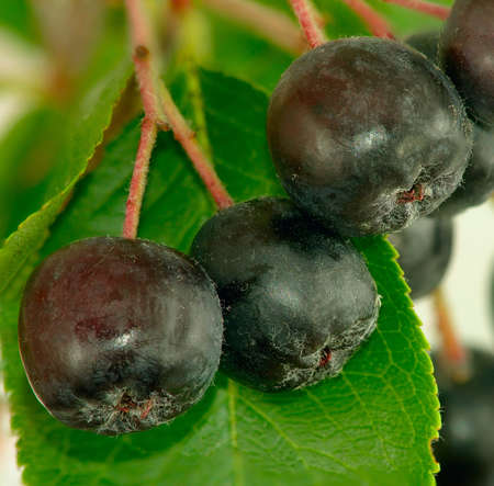 ashberry: Isolated image branches ashberry closeup Stock Photo