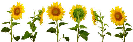 isolated images arranged one behind the other sunflowers on a white background