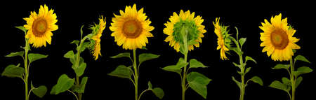 isolated images arranged one behind the other sunflowers on a black background
