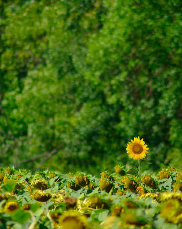 image of sunflowers on the field on a background of trees
