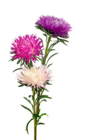 isolated image of  asters on a white background