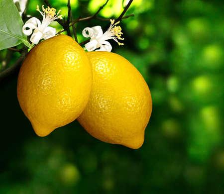 緑の背景の枝にレモンのイメージ 写真素材
