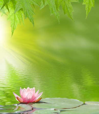 flor de loto: imagen de una flor de loto en el agua sobre un fondo verde Foto de archivo