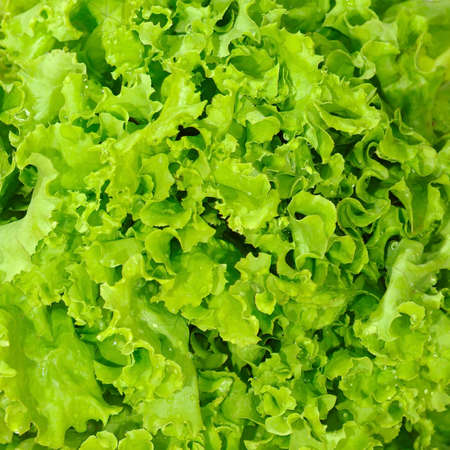 Image of lettuce as a background, closeup,macro  photo