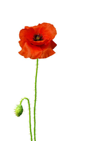 Isolated image of poppies on a white background Stock Photo