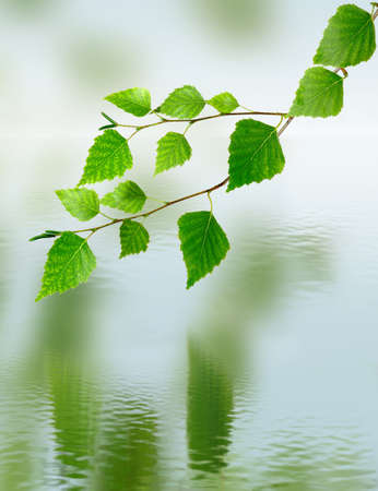 image of birch branches over the water on a green background photo