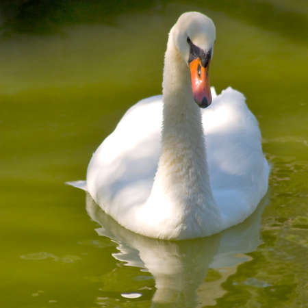 image of one swan on the water