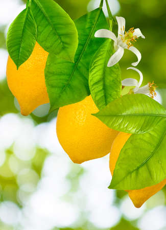 image of three lemons on a tree