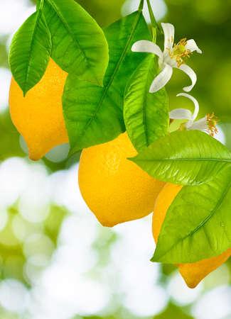image of three lemons on a tree