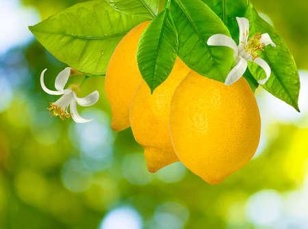 庭のクローズ アップのツリー上のレモンのイメージ