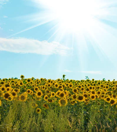 field of sunflowers on a  blue sky background photo