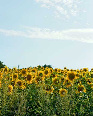 field of sunflowers on a blue sky background closeup photo