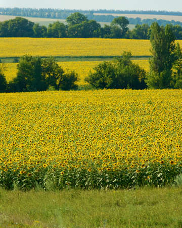 landscape of a field of sunflowers photo