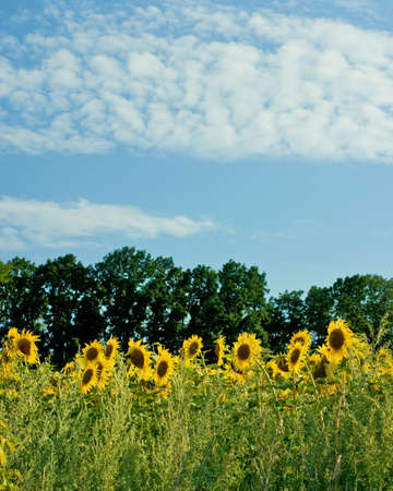 field of sunflowers on blue sky background photo