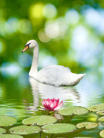 image of a swan and lotus flower on the water photo