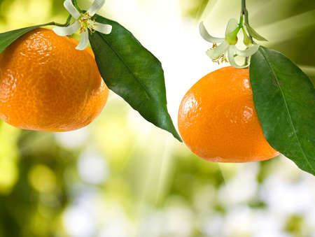 image of ripe tangerine in the garden closeup Stock Photo