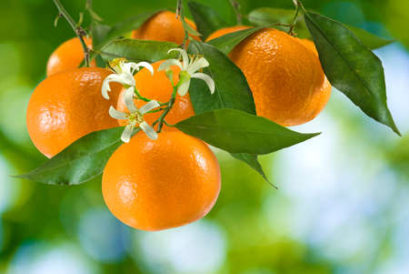 image of ripe tangerine in the garden closeup photo