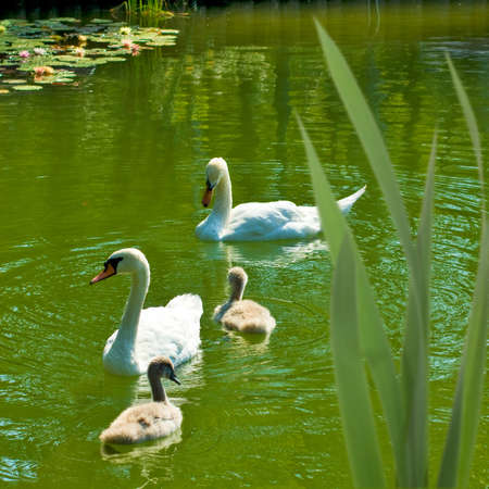 image of two swans and their two chicks on the water photo