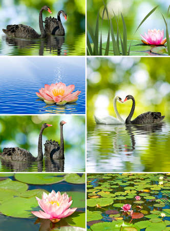 beautiful lotus flowers and swans closeup photo