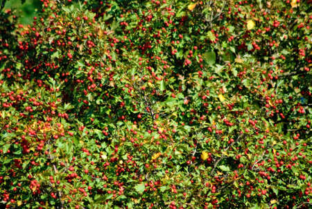 image of  red hawthorn berries