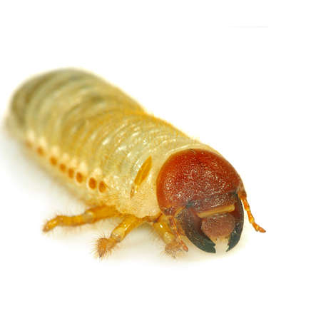 Isolated image of larvae on a white background Stock Photo