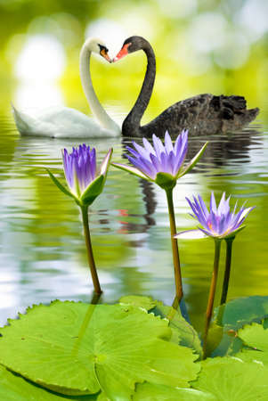 lotus in water and swans photo