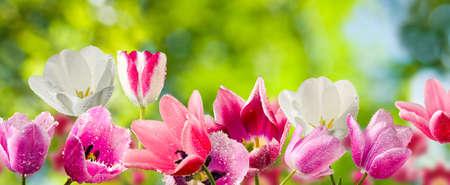 tulipani in primo piano giardino