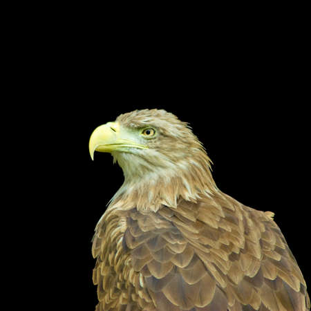 vigor: image of an eagle on a black background closeup