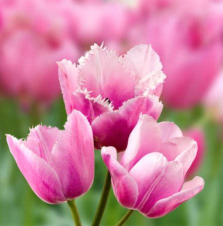 campo de flores: imagen de muchos tulipanes en el primer del jard�n Foto de archivo