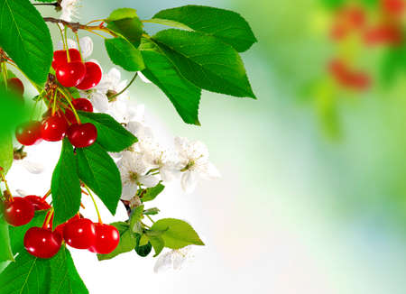 fall trees: branch with cherries on a green background closeup Stock Photo