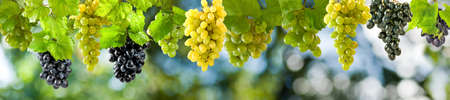 wineries: ripe grapes on a green background in the garden Stock Photo