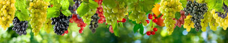 ripe grapes on a green background in the garden Stockfoto