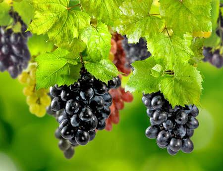 庭のクローズ アップで緑色の背景で熟したブドウ