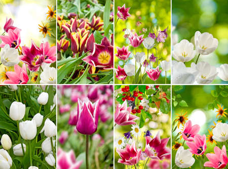red tulip: image of beautiful flowers in the garden close up
