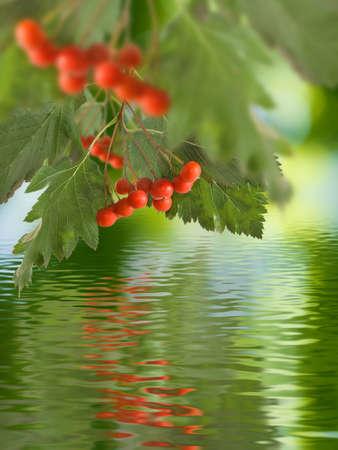 rowanberry: image of rowan in the garden close up