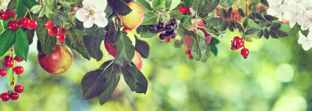 landscape flowers: Image of sweet apples and cherries on a tree, Ripe apples and cherries on a branch in the garden close-up, Beautiful, delicious apples and cherries on a branch on a green background