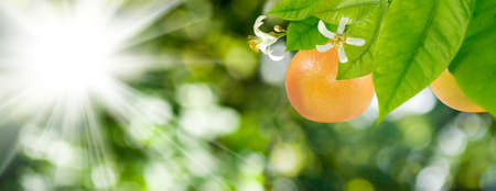 Image of ripe orange on a tree branch in the garden on a green background.
