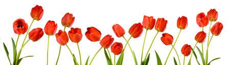 Lokalisiertes Bild von Tulpenblumen auf einem weißen Hintergrundabschluß oben