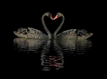 물 위에 두 개의 검은 색 백조의 이미지 스톡 콘텐츠
