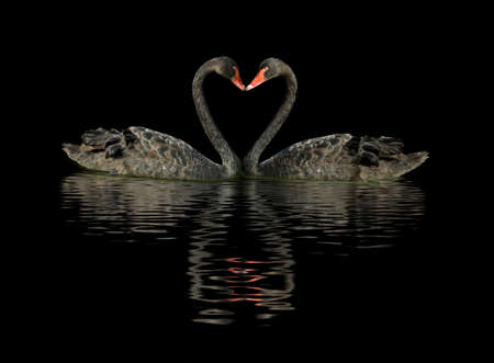 Image of two black swans on the water