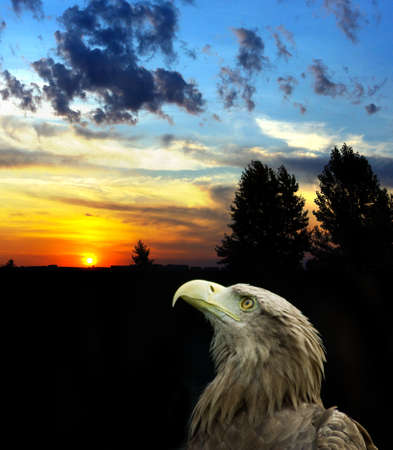 Image of eagle on sunset background
