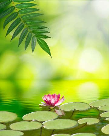 水面に蓮の花の画像 写真素材