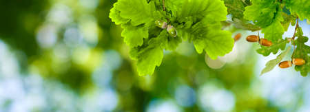 image of oak tree in garden closeup