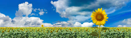 image of many sunflowers in the field Standard-Bild