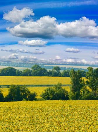 sunflowers in the field. Natural landscape closeup,
