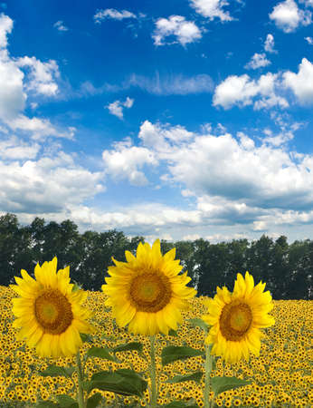 Image of sunflowers in the field. Natural landscape closeup,