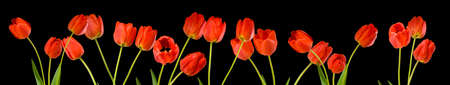 isolated image of tulips flowers close up Imagens